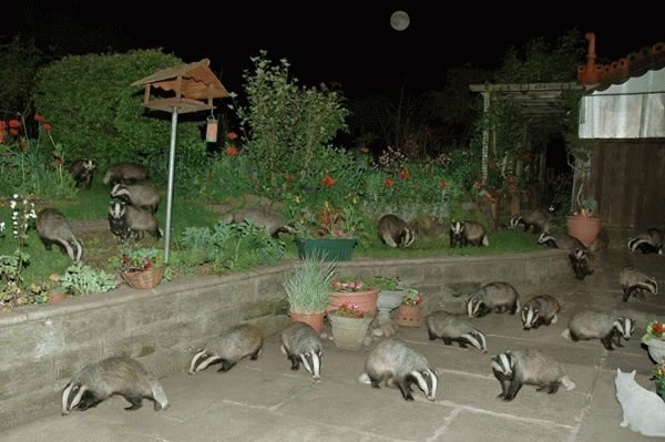 badgers+waiting+for+the+start+of+play.jpg