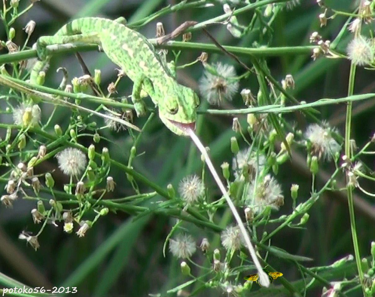 camaleon atrapando un insecto Rota