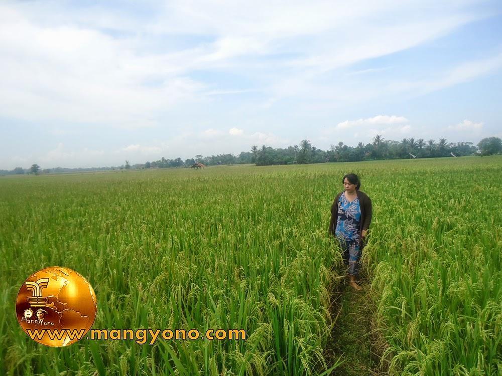 FOTO : Istri admin berkeliling sawah, Subang, West Java, Indonesia. Foto jepretan admin