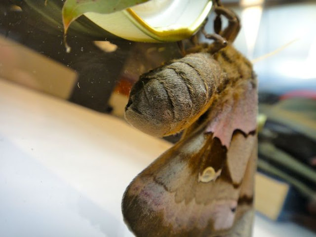 Antheraea Polyphemus transformation (21 pics), giant silk month pictures, Antheraea Polyphemus pictures, month pictures