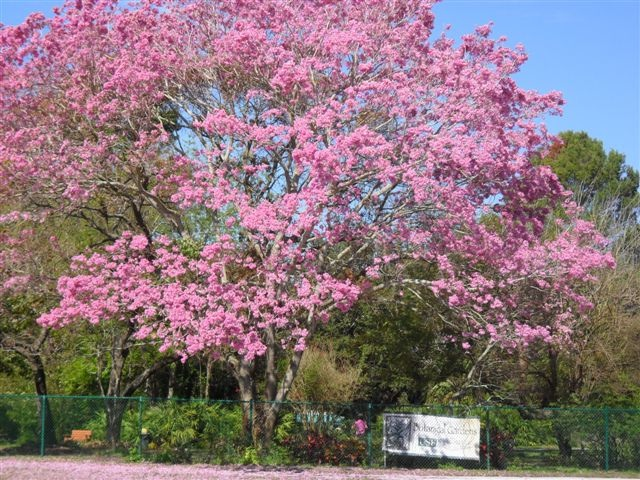Delicieux Pink Tabebuia At USF Botanical Gardens