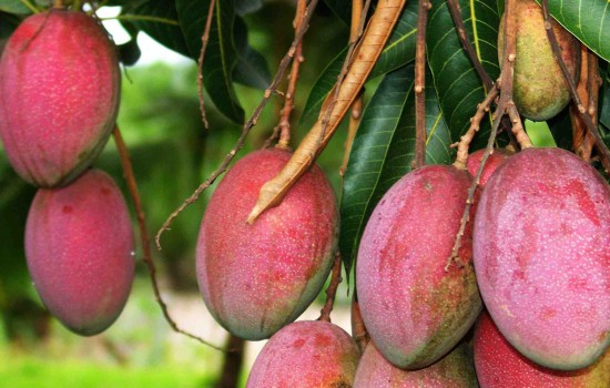 http://4.bp.blogspot.com/-nDqEM4oyLMc/T3JN2QfG4QI/AAAAAAAAASg/PCIpZ-JwtgE/s1600/mango-tree-2v2-550x350.jpg