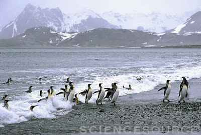 King Penguins come ashore - Stock Image BX9380
