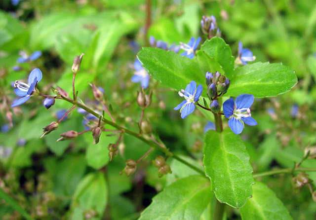 Brooklime, Veronica beccabunga, on a wet Ravensbourne Meadow. 28 May 2011.