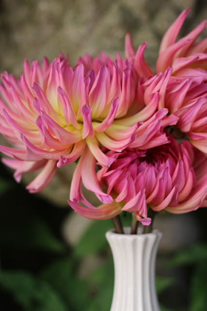Pink and yellow Dahlia in vintage white vase