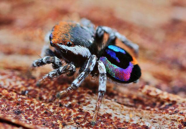 Rainbow Tarantula