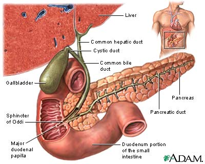 Anatomy BY411: The spleen, pancreas and gall bladder