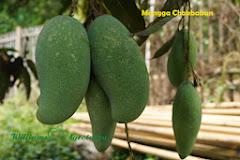 Mangga Chokbabun
