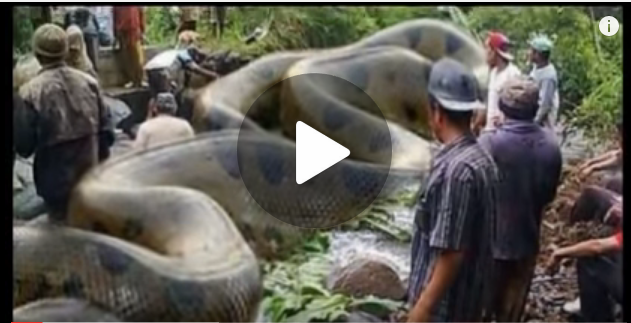 Giant anaconda found