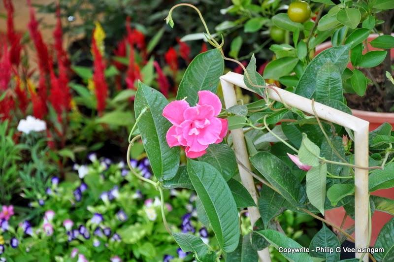 Images of sri lanka on spot flower plants for sale