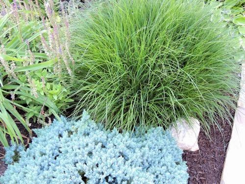 A guide to northeastern gardening july 2013 for Blue fountain grass