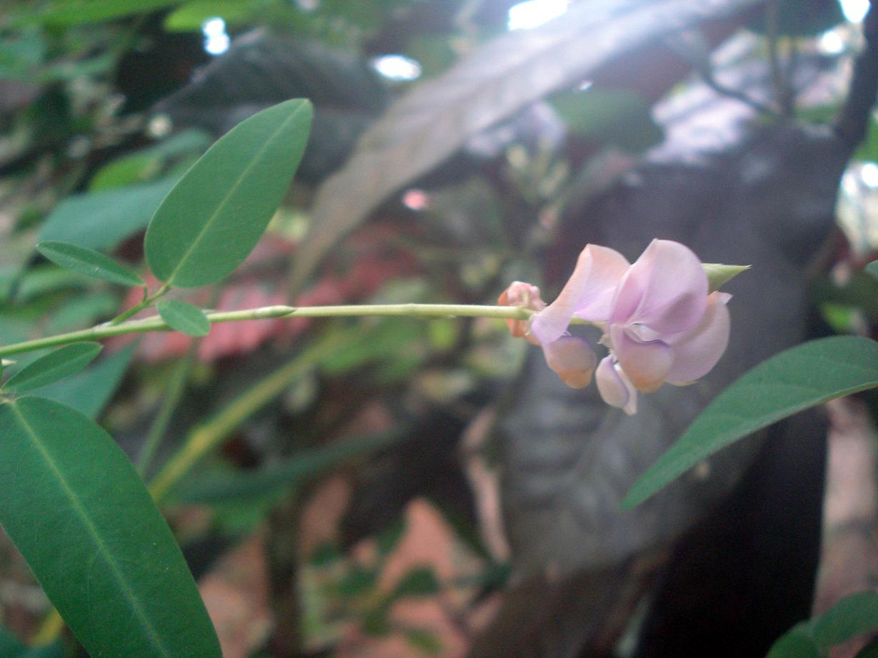 Plant Of The Day Plant Of The Day Is Codariocalyx