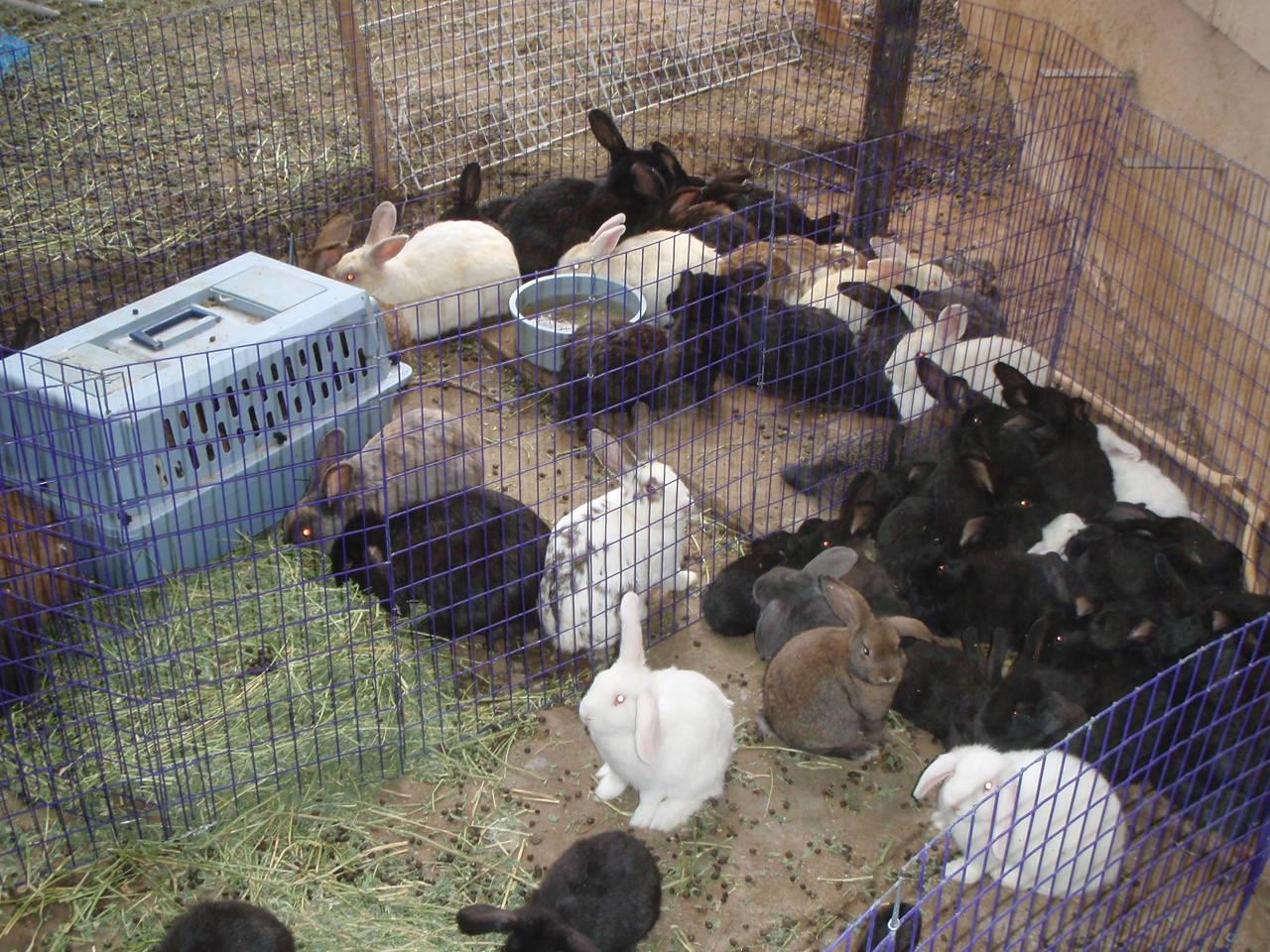 Разведение кроликов в домашних условиях для начинающих 56