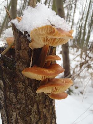 Zimówka aksamitnotrzonowa, płomiennica zimowa, Flammulina velutipes