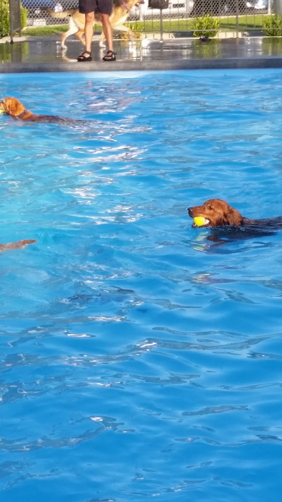 Golden Retriever in a pool