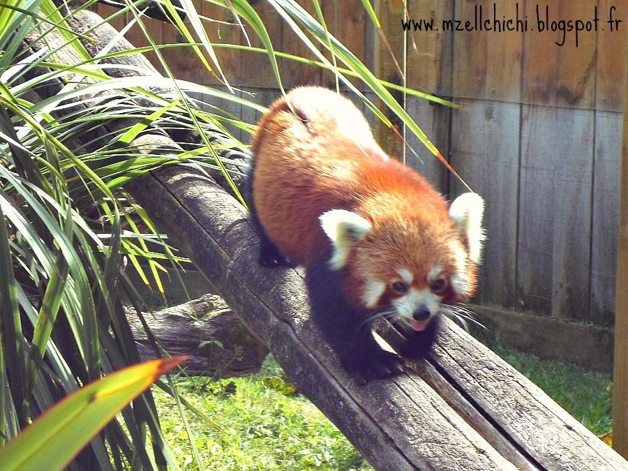 Zoo-Pessac-Petit-Panda