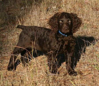 Boykin Spaniel Pictures