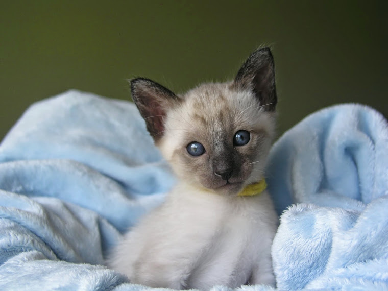 five week old seal point Siamese kitten (spoken for)