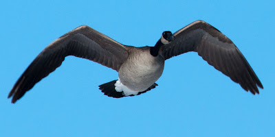 Canada Goose, Cherry Creek State Park