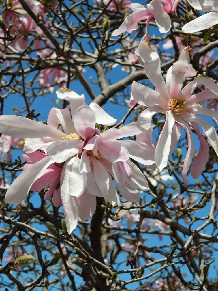 Leonard Messel Loebner magnolia by garden muses-not another Toronto gardening blog