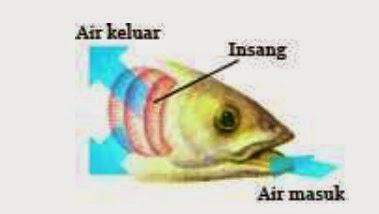Alat dan sistem pernafasan pada Ikan