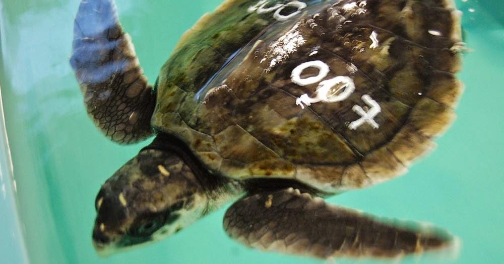 New England Aquarium News And Updates 193 Sea Turtles