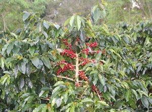budidaya-tanaman-kopi-ateng.jpg