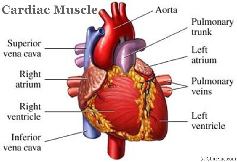 Heart muscle diagram defenderautofo gallery of heart muscle diagram human body clinicme muscles ccuart Images