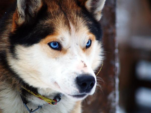 energi dan kecerdasan jenis anjing ini tidak dianggap sebagai anjing
