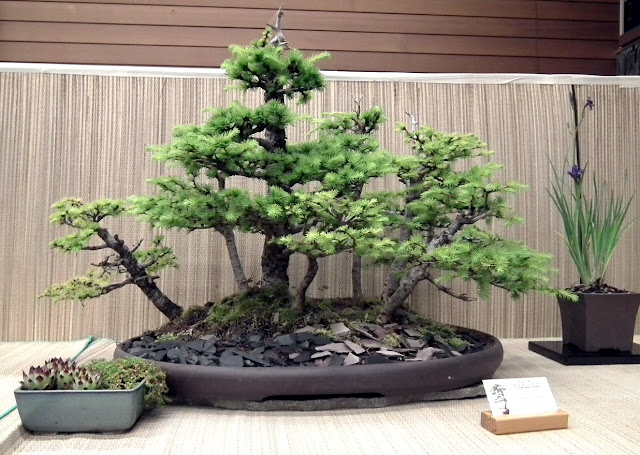 Japanese Larch Forest - Spring Bonsai Show, Vandusen, Vancouver