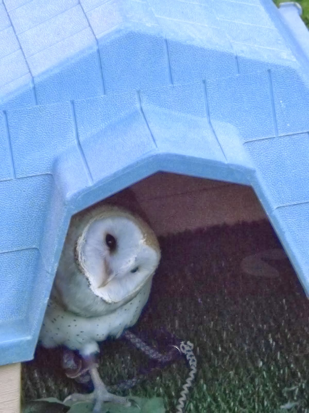 Meet Wilbur The Barn Owl