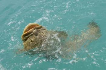 Goliath Grouper Eats Shark International F...