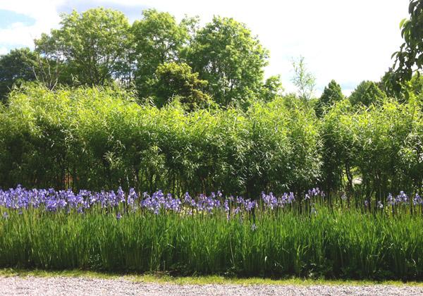 Horisontella fält av iris, pil och himmel