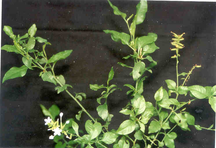 Obat Sakit Pinggang Herbal Serba Ramuan Herbal