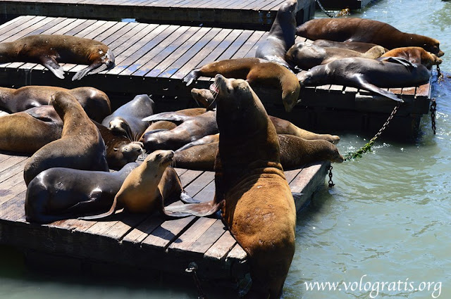 leoni marini pier 39 diario di viaggio san francisco