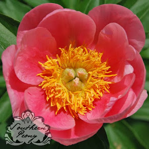 Peony 'Lovely Rose'