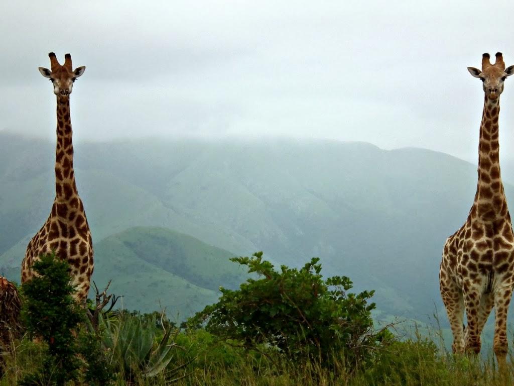 """<img src=""""http://4.bp.blogspot.com/-nIqZ1Fqqjqk/UtlQVnFAsEI/AAAAAAAAIlM/eW0vajpZVrQ/s1600/animal-wallpapers%253Dgiraffes.jpeg"""" alt=""""giraffes couple"""" />"""