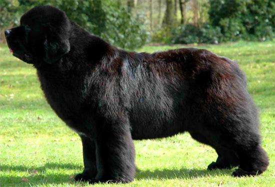 Yorkshire Terrier Nj I mantelli del cane