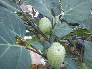 Gambar tanaman dan buah kecubung serta khasiatnya