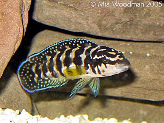 Ikan Hias Air Tawar Akuarium Ikan Hias