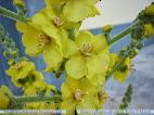 Verbascum simplex