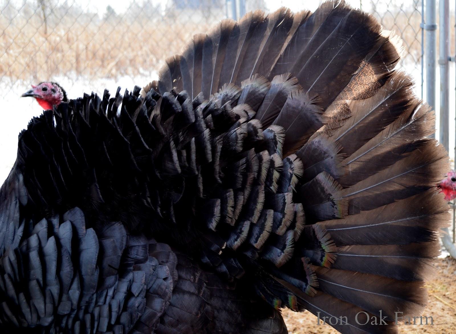 Wild turkey anatomy