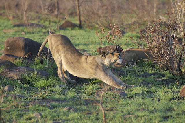 Lioness-Tsala-pride-hunting-SouthAfrica