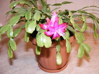craciunica, schlumbergera, cactusul craciunului, flori, floare, floare de apartament, floare decorativa, flori de apartament, flori decorative, plantarea si inmultirea florilor, ingrijirea florilor de apartament,