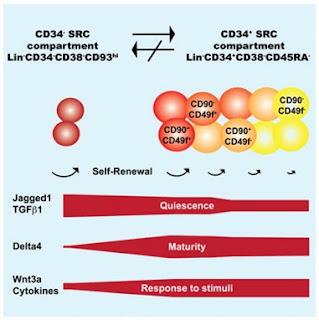 CD34- гемопоэтические стволовые клетки