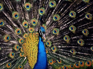 peacock wings, peacock with all its wings open, beautiful peacock image,