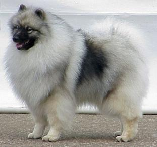 keeshond puppy pets do...