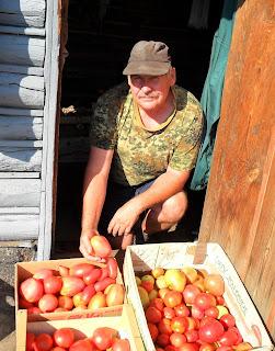 Сортирую урожай помидоров