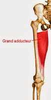 grand adducteur