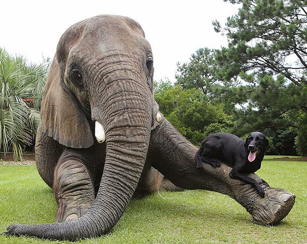 Bella the Labrador and Bubbles the African Elephant